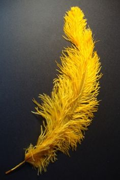 Yellow Ostrich feather on Black.