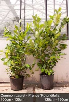 Common Laurel hedging is the most common hedging used in the UK. Its easy to see why. This lush dense shrub is perfect for garden boundaries or single shrub planting. The large fleshy leaves means that laurel has good sound absorbing qualities, making your garden paradise that little more private. Candles of white flowers cover the dense branches during spring, later in the year black cherry like fruit appear. All of our Pot Grown Laurel is produced in the UK by Hedging Plants Direct.