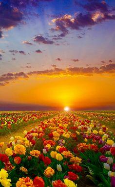 Konya TÜRKİYE  zeki seferoğlu #konya #türkiye #Turkey #anadolu #lale #Tulip #sunset #günbatımı #manzara #landscape - Priti Singh - Google+
