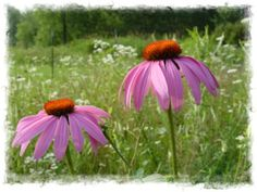 Coneflower—1-2' with red, pink, purple, or white flowers. Location depending on color. Full sun.
