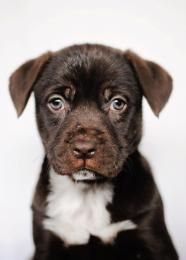 Frank - Labrador Retriever