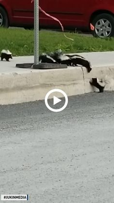 Mother skunk helps babies climb over curb Pretty Animals, Animals Beautiful, Crazy Animals, Cute Animals, Fluffy Animals, Animals And Pets, Baby Skunks, Curious Cat, Funny Birds