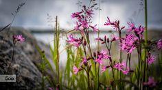 Midsummer flowering by Kim von Essen on 500px