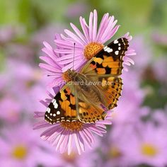 Painted Lady - Richard Lewington Most Beautiful Butterfly, Wildlife Art, Woman Painting, Bugs, Lady, Flowers, Plants, Animals, Animales