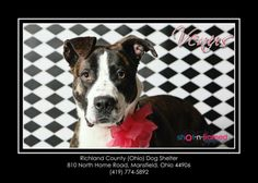 Meet Venus - Urgent a Petfinder adoptable Pit Bull Terrier Dog | Mansfield, OH | Hi there, my name is Venus. I was brought to the shelter as a stray on 1/23/14. I am young and I...