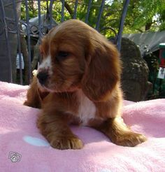 King Charles Cavalier / Cocker Spaniel