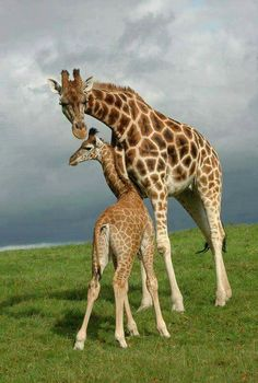 Mother and her baby giraffe.