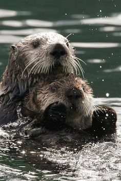 Sea Otters in Kachemak Bay by Aleutian Fox