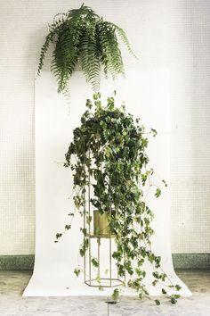 O Cissus é uma planta ornamental que pode ser conduzida como trepadeira, fixa por suas gavinhas, ou como planta pendente.  Ela pode ser cultivada com bastante luz difusa, à meia-sombra e também receber o sol da manhã.