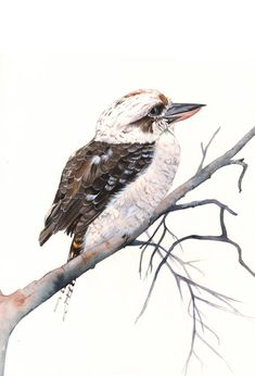 Kookaburra watercolor painting PRINT of by LouiseDeMasi on Etsy