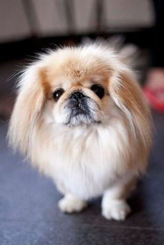 What Dog You Should Get Based On Your Sign - Society19 Yorkies, Pekingese Puppies, Cute Dogs Breeds, Small Dog Breeds, Small Dogs, Small Breed, Fu Dog, Dog Cat, Cute Puppies