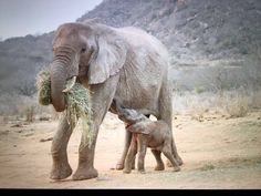 Este elefante huérfano regresó a visitar a sus rescatistas con una bebita nueva. Nos mató de ternura