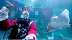 3. Dezember, #Berlin: Ein tauchender #Weihnachtsmann schwenkt im Meerbecken des Aquariums Sea Life in Berlin ein Glöckchen nebe einem Rochen. Die vorweihnachtliche Aktion fand anlässlich des zehnjährigen #Jubiläums des Aquariums statt. (Foto: dpa)