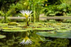 Nenúfar, Flor, Flores, Estanque, Planta De Estanque