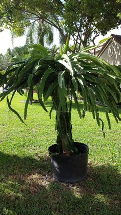 My potted Dragon Fruit trellis is almost 2 years old now ( started January 1st 2012) and it is producing beyond what I ever imagined. From tossing the old flowers and aborted fruit into the container to mulch in-situ....the aborted fruit must have rotted with viable seeds in it because seedlings are popping up all over!!