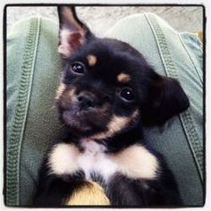 Jessica is an adoptable Terrier Dog in Los Angeles, CA. Howdy! My name is Jessica and I am only 7 weeks young. My mom (Brussels Griffon mix, dad (most likely Chihuahua), and 5 siblings and I were all ...