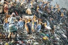Endangered Greater Adjutant Storks in an Indian dump. As their native habitats get destroyed the storks have begun foraging for food in urban disposal sites. Photo by Dhritiman Das