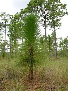 Pinus palustris (Longleaf Pine) my favorite of all the pines. good in well-drained soils Landscaping Plants, Pine Tree, Beautiful Places, Landscapes, Southern, Trees, Yard, Outdoors, Leaves