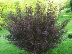 Full size picture of Purple Ninebark 'Monlo' (Physocarpus opulifolius)