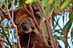 Slumbering Koala on Kangaroo Island, Australia