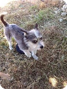 Surrey, BC - Terrier (Unknown Type, Medium) Mix. Meet SWEETIE JOKER, a puppy for adoption. http://www.adoptapet.com/pet/13170918-surrey-british-columbia-terrier-unknown-type-medium-mix