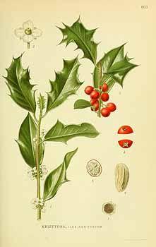 Holly - (Ilex aquifolium L.)
