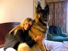 King Shepherd - A bigger, fluffier, friendlier German Shepherd! Holy moly I want this dog!!!
