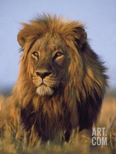 Lion, Panthera Leo, Chobe National Park, Botswana by Frans Lanting Beautiful Cats, Animals Beautiful, Cute Animals, Frans Lanting, Chobe National Park, Lion And Lioness, Lion Love, Male Lion, Lion Art