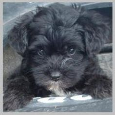 Adorable Yorkipoo, Yorkie Poodle, Yorkiepoo Hybrid Puppies for sale - Puppy Breeders Specializing in Healthy, Beautiful Mixed Breeds. Yorkie Poo Puppies, Yorkie Poodle, Cute Dogs And Puppies, Baby Puppies, Doggies, Poodle Mix Breeds, Dog Breeds, Baby Animals, Cute Animals