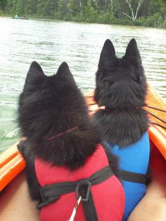 Two schipperke dogs kayaking-I really want to see if mine will take to boating. I think they might. They love going to the lake or beach, as long as they're not in the water.