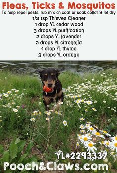 Using Young Living Essential Oils for natural bug repellant http://www.poochandclaws.com