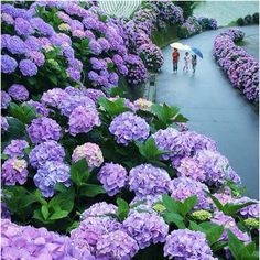 Hydrangea Road in Miyazaki, Japan...... My husband's favorite garden flower, and to think there's a Hydrangea ROAD to walk up and down in Japan! Would love to with him.