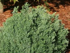"""Chamaecyparis obtusa ' Blue Feathers ' This plant is soft in form as well as texture. Tiers of feathery downy-looking foliage on an upright broad habit give a """"""""warm fuzzy"""""""" feeling to the garden. Typ"""