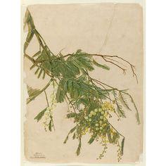 John Lewin botanical sketches of Australian plants