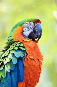 Pet Birds Pictures With Names Pet Birds Cage Crossword Clue Parrot Pet, Parrot Toys, Parrot Bird, Tropical Birds, Exotic Birds, Colorful Birds, Small Birds, Pretty Birds, Beautiful Birds