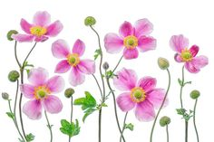 Japanese Art Print featuring the photograph Anemone Japonica by Mandy Disher
