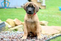 This English Mastiff puppy is well socialized and family raised with children. She is very friendly and loves people. She can be AKC registered and she is Chihuahua Puppies, Baby Puppies, Puppies For Sale, Newborn Puppies, English Mastiff Puppies, Mastiff Dogs, Animals For Kids, Cute Animals, Baby Animals
