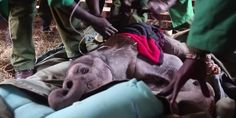 Triple Rescue: Baby Ostriches Comfort Baby Elephant As He's Airlifted