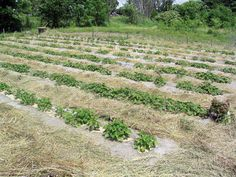 sweet potatoes with clear plastic mulch