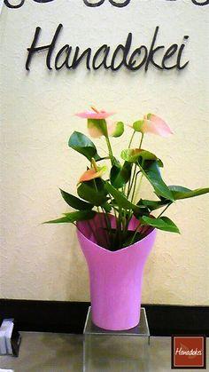 Houseplant anthurium native South America Amazon@Hanadokei Tokyo