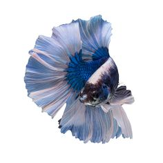 """Buy Betta Breath taking! The Butterfly Betta typically has a solid color body but the tail and fins that have been trimmed in white and can sometimes be clear. Fully fanned out this Betta fish is a jaw dropper! This variety typically has a full """"D"""" shaped tail but is less common than the halfmoon variety. The colors of ourBetta fish will vary, GoBetta.com will hand select a premium Betta fish just foryou!  https://gobetta.com/product/butterfly-male-betta/"""