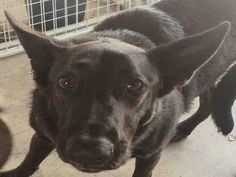 German Shepherd Dog dog for Adoption in Sacramento, CA. ADN-643263 on PuppyFinder.com Gender: Female. Age: Adult