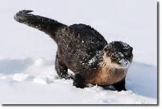 Snowy otter!