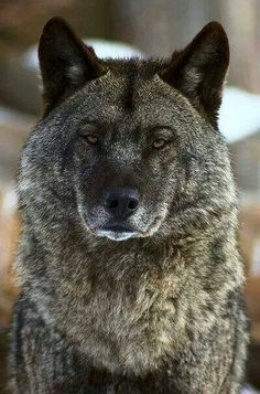 Wolf is not impressed