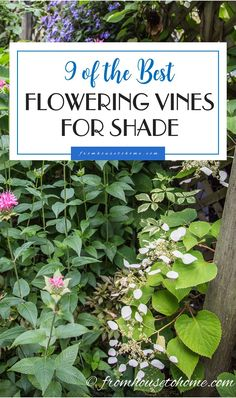 9 of the Best Flowering Vines For Shade | When I needed to hide my neighbor's shed from view in my shady garden, I had a tough time finding flowering vines for shade that were non-invasive. This list of perennial shade vines has some really pretty plants that won't take over your yard.
