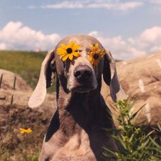 Dogs and Puppies :      Dogs – Image :     Dogs and Puppies Photo  – Description  William Wegman, Sightly, 1999  Sharing is Caring – Hey can you Share this Photo !  - #DogsPhotography https://dogs-r-it.com/dogs-and-puppies-william-wegman-sightly-1999/