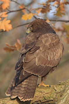 common buzzard - buteo buteo, is a medium to large bird of prey, whose range covers most of europe and extends into asia.