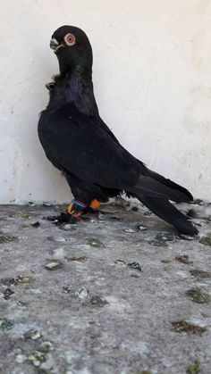 Pigeon Pictures, Pigeon Breeds, Beautiful Birds, Bald Eagle, Animals And Pets, Fur Babies, Pakistan, Cake, Birds