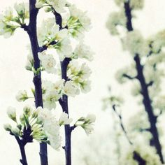 White photograph  flower photography spring tree by LupenGrainne, $30.00