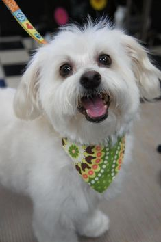 Tuffy 2~ <3 Maltese • Adult • Male • Small. Pups and Pals Los Alamitos, CA. 6 yrs, 10.5 - 11 lb little man. Cute, white non-shedding boy w/ a beautiful face! This precious boy is a bit slower to trust men & will need a gentle hand. He loves attn & is very attentive once he gains your trust, but that takes a little time. Not an ideal dog for a very busy home or for a first time dog owner. OK w/ dogs, loves walks & great in the car! Appears housetrained, but we never promise. Had a dental.